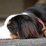 犬が痙攣で倒れる